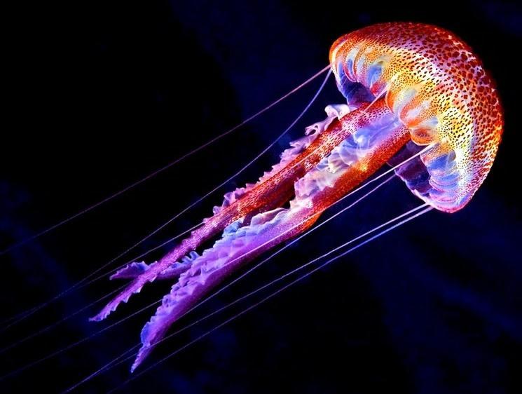 Медузи допоможуть вивчити механізм копіювання ДНК