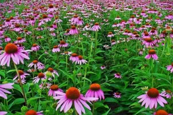 Ехінацея - Лікувальні властивості та протипоказання рослини