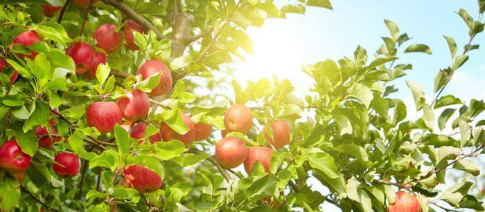 Вітаміни в яблуках: корисні властивості і поради по вживанню