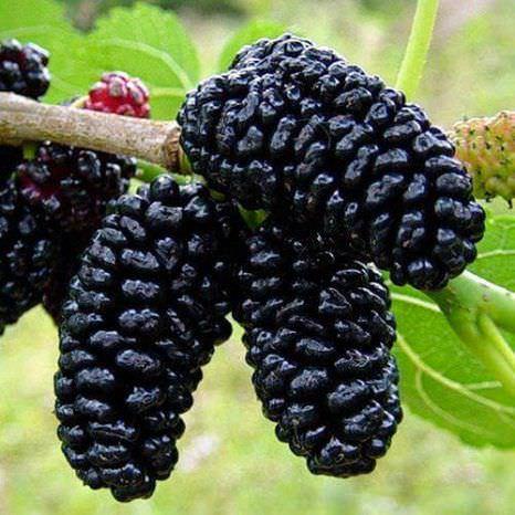 Шовковиця: харчова та поживна цінність ягід