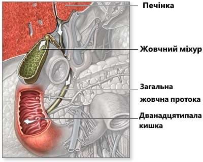 анатомія жовчного міхура