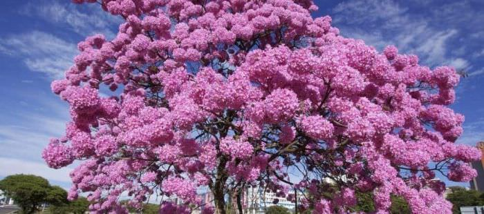 Мурашине дерево