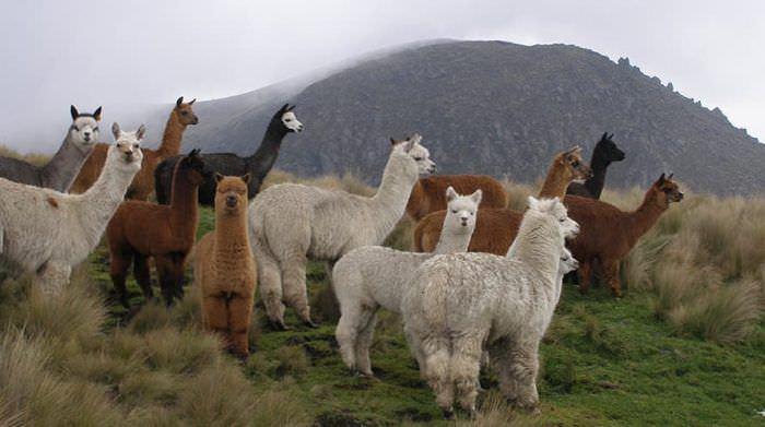 Благодаря этим 7 преимуществам вам точно подойдет пряжа альпака
