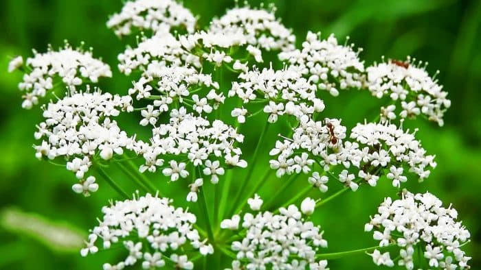 Лекарственные растения: особенности аниса