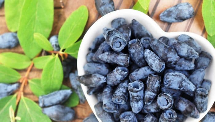 Їстівна синя жимолость: корисні властивості та протипоказання для людини