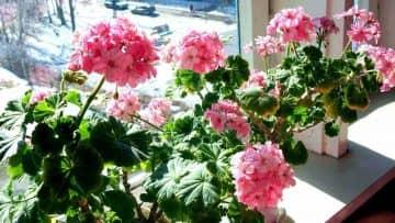 Користь герані в будинку і можливу шкоду кімнатної рослини