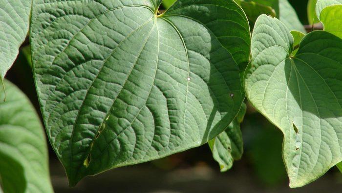 Кава-кава - натуральна трава з багатообіцяльними заспокійливими властивостями